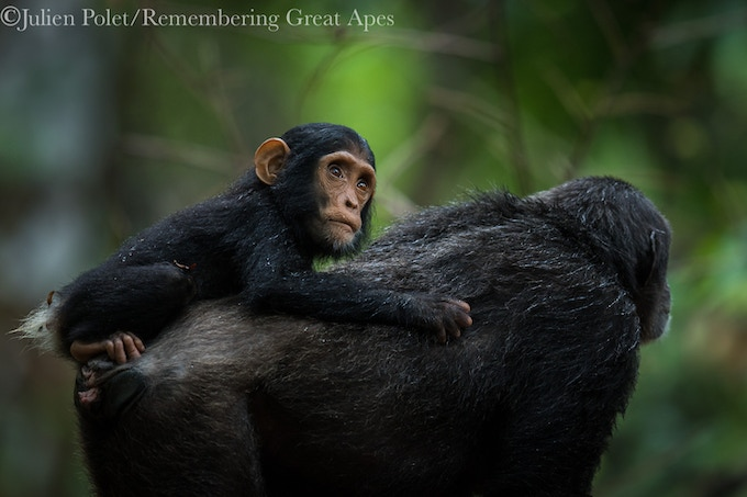 Mahale chimpanzees by former Greystoke lodge manager Julien Polet