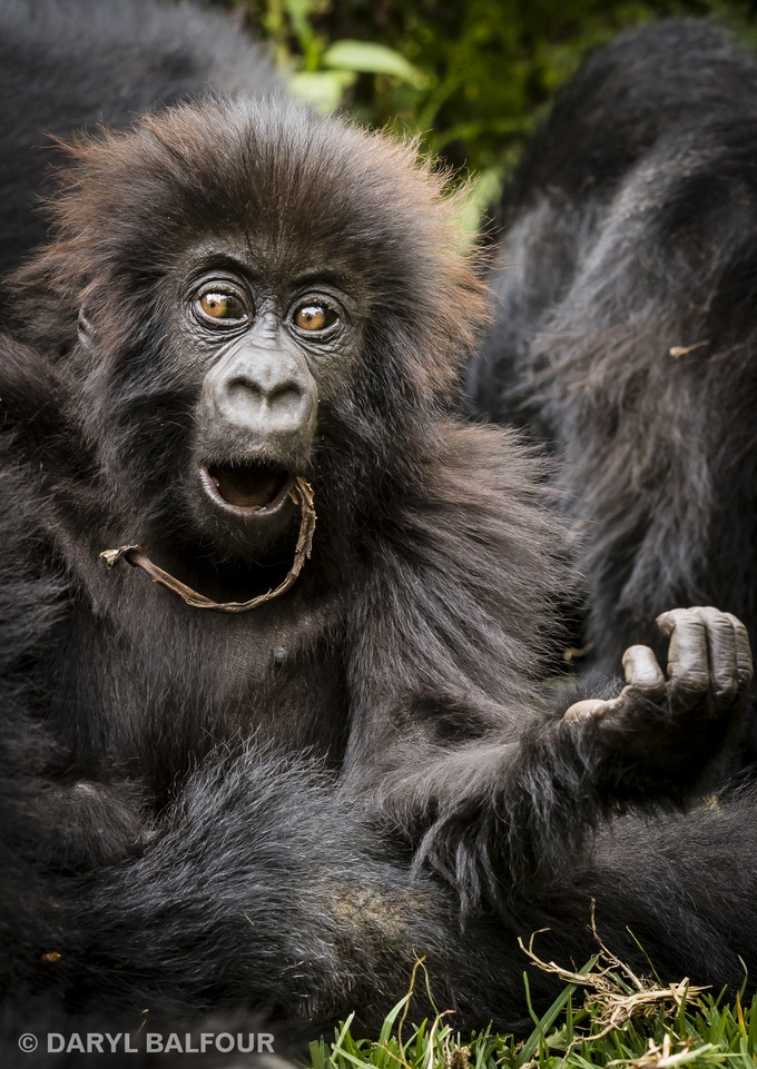 Baby gorilla print by Daryl Balfour