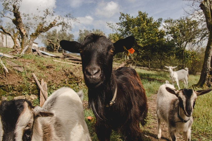 Our CO farm resident Goats Ada and her two babies