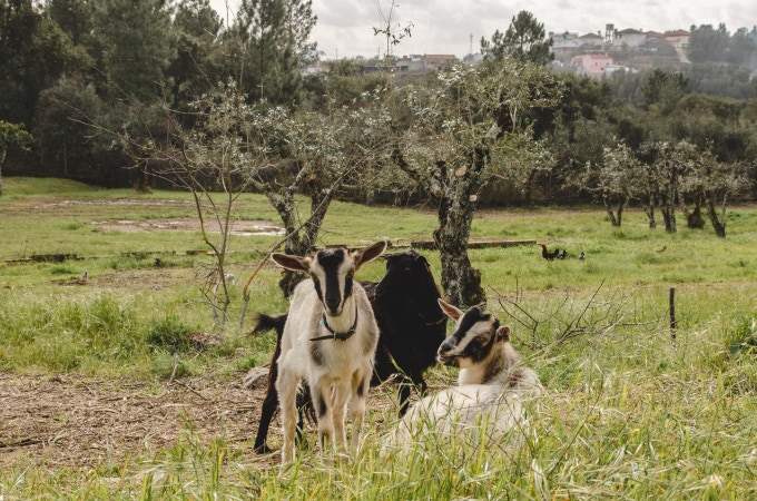Our resident goats in the olive grove