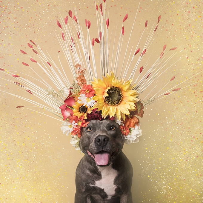 Holiday was rescued from a large pit bull breeding operation. She waited 6 months before finding a home partly thanks to her flower portrait!