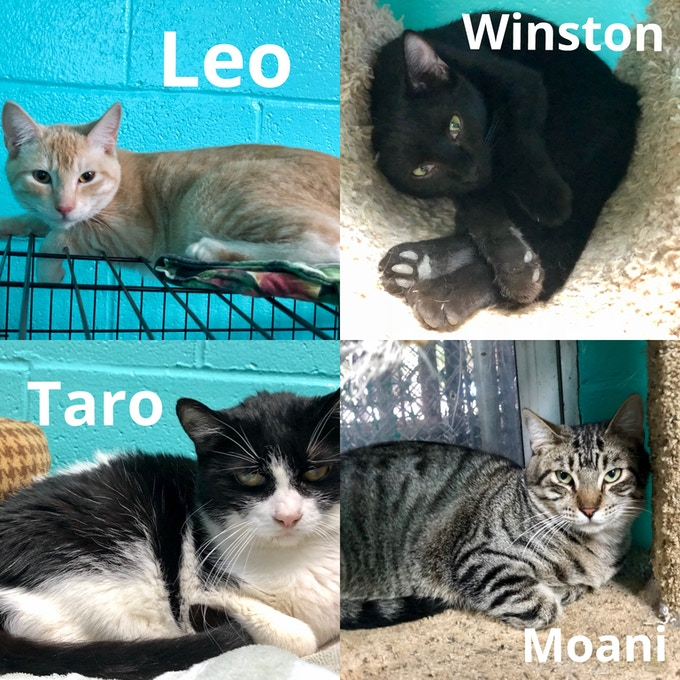 Oahu SPCA Cats Currently Looking for a Furrever Home