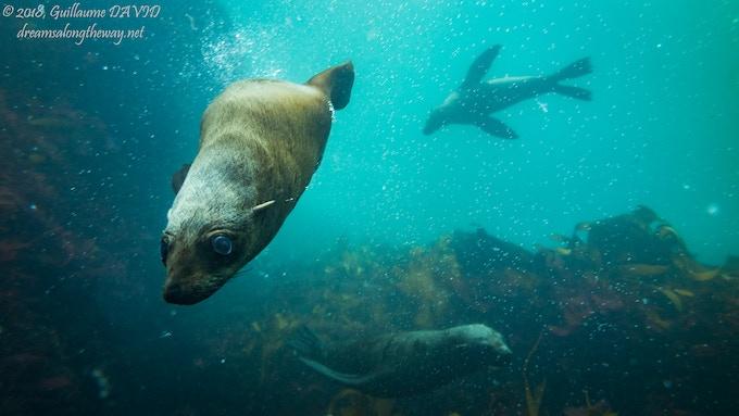 Playful Fur Seals, South Africa