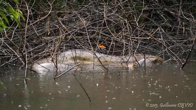 Large Anaconda, Peruvian Amazon