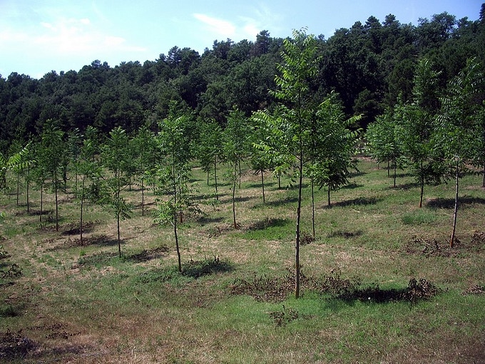 Example of a walnut orchard