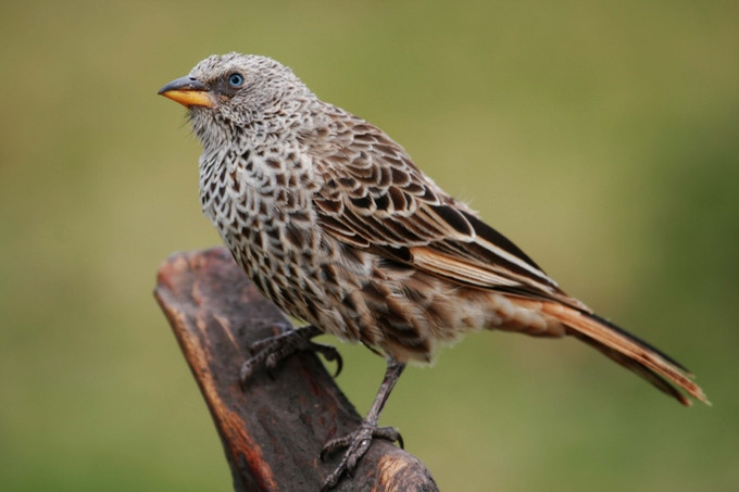 Rufous-Tailed Weaver (Photo by Lee R. Berger)