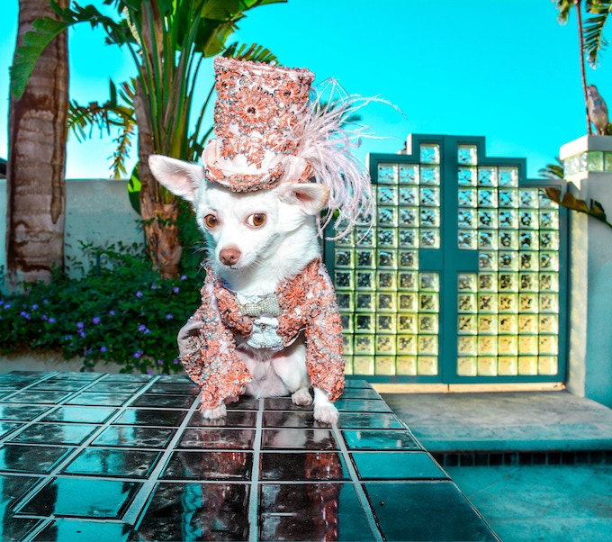 Chihuahua Kimba wearing Anthony Rubio Designs in Palm Springs