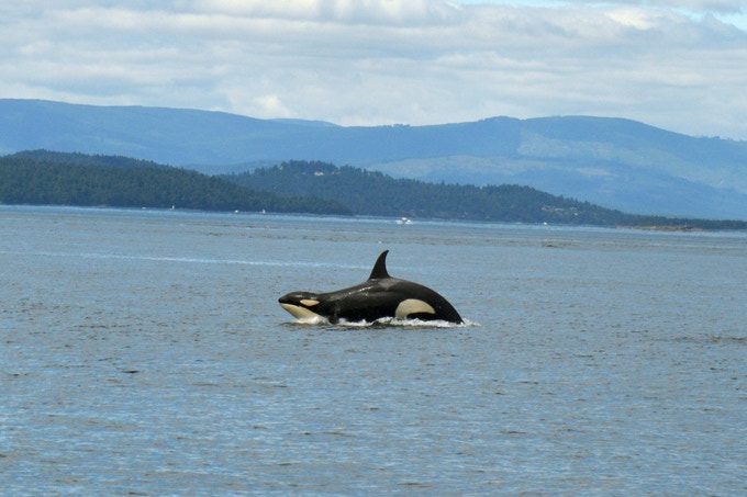 Then 2 year old J50 'Scarlet' having a whale of a time off the coast of San Juan Island