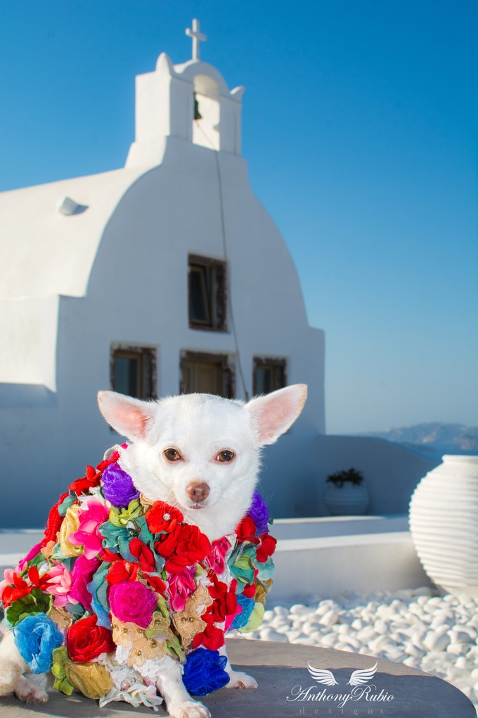Chihuahua Kimba in Greece wearing Anthony Rubio Designs (Photo by Simply Robb)