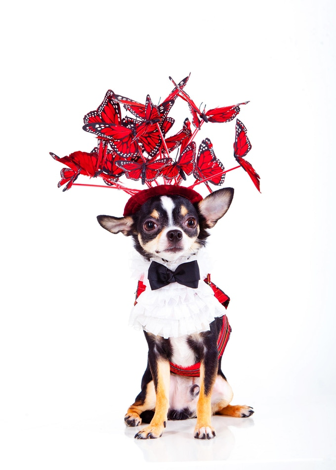 Bogie, a Chihuahua wearing Anthony Rubio Designs (Photo by Yoni Levy)