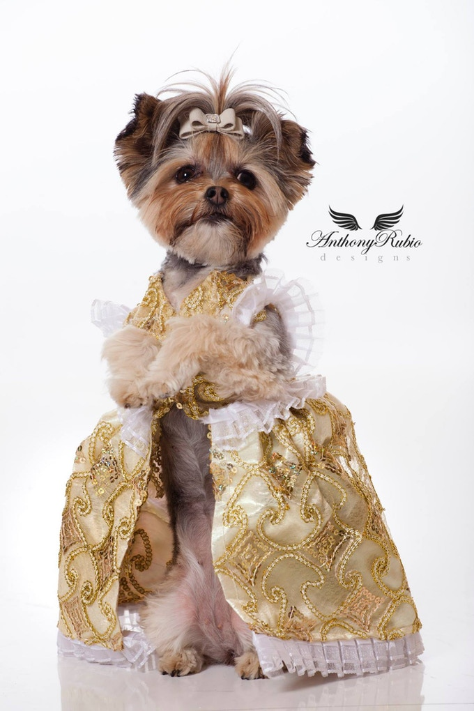 Livie, a Morkie wearing Anthony Rubio Designs (Photo by Jeff Linett)