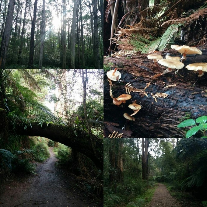 Sherbrooke Forest in the Dandenong Ranges