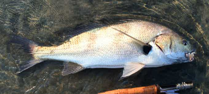 Spotfin Croaker caught near Suckouts at Cardiff State Beach