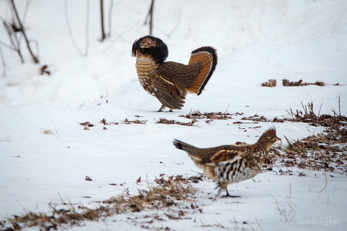 Ruffed Grouse in Winter on the farm
