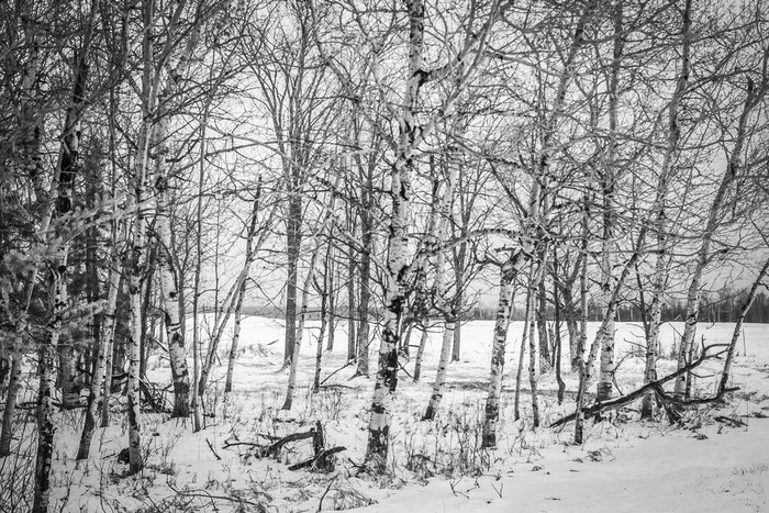 The birch grove in winter