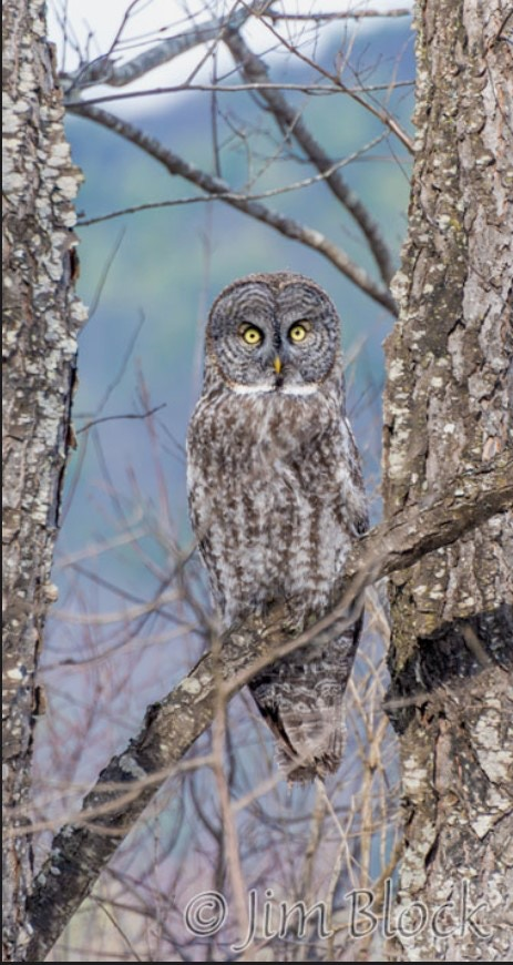 Great Gray Owl (Photo credit: Jim Block)