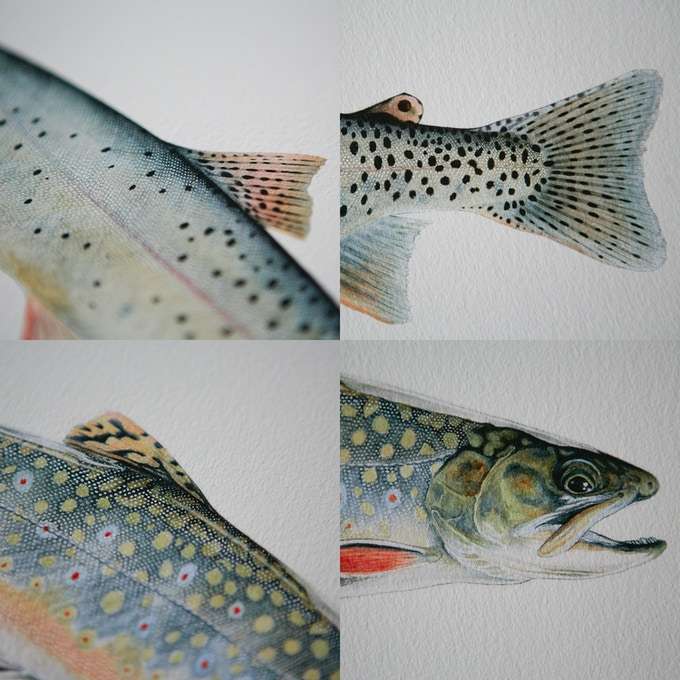 Yellowstone Cutthroat Trout & Salter Brook Trout Details