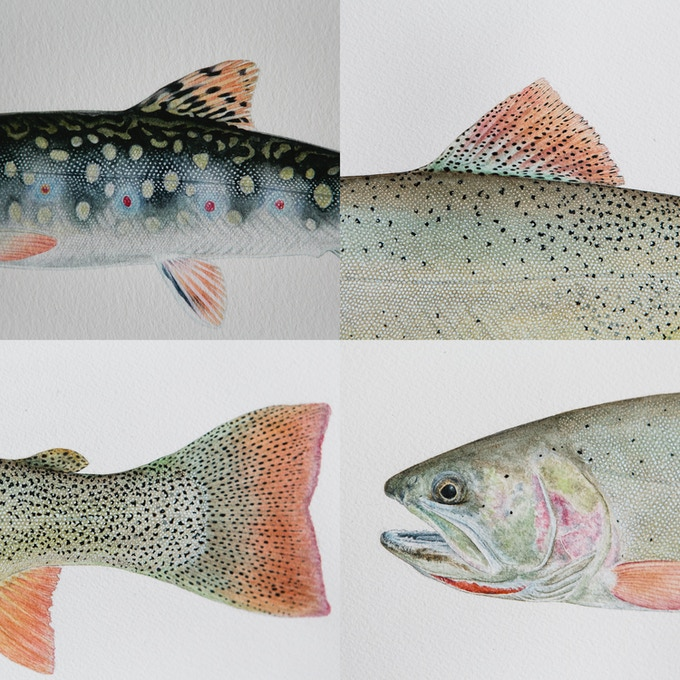 Fingerling Brook Trout & Snake River Fine-Spotted Cutthroat Trout Details