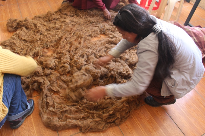 Sorting and hand cleaning the alpaca fibers