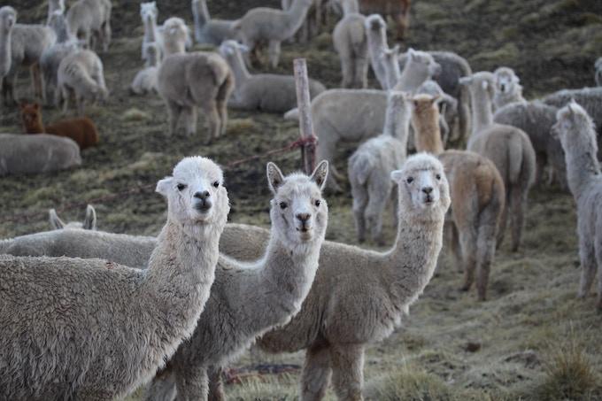 Alpaca primadonnas ready for photo shoot