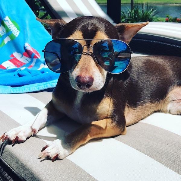 My Dog - Mars (@marsthechiweenie)