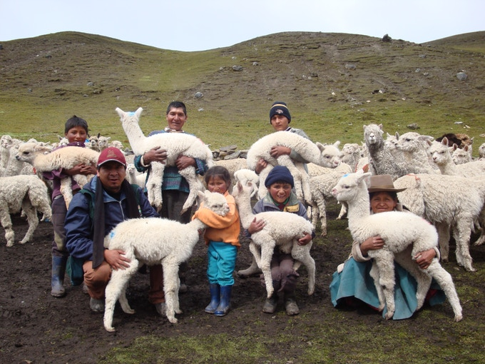Alpaca breeder families live hard lives in the high Andes