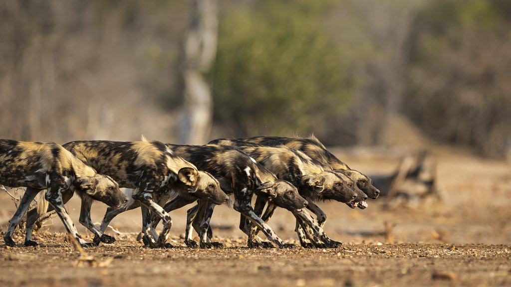 Painted Wolves: A Wild Dog's Life project video thumbnail
