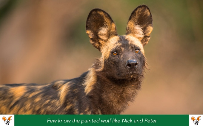 painted wolves a wild dog s life by nicholas dyer peter blinston