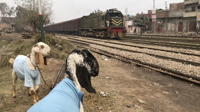 Train watchers. Well-dressed caprids in Lahore, Pakistan.