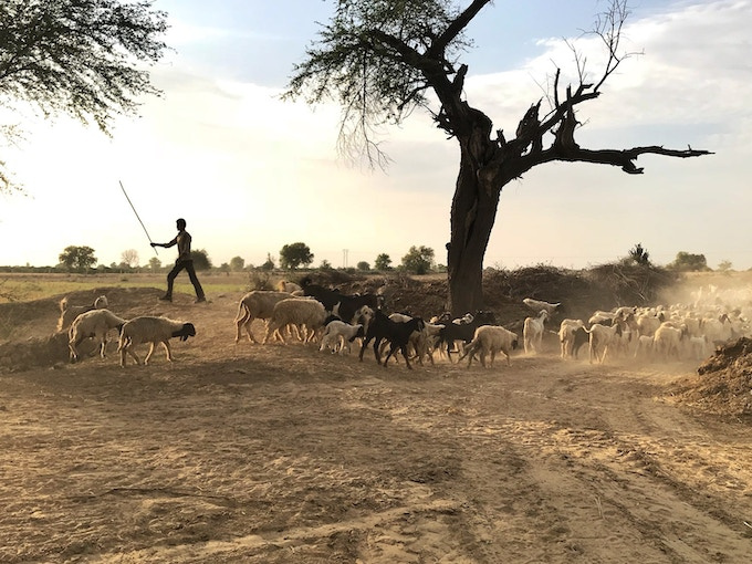 A shepherd nudges his animals past arid fields in the Indus River watershed. Photo by Arati Kumar Rao.