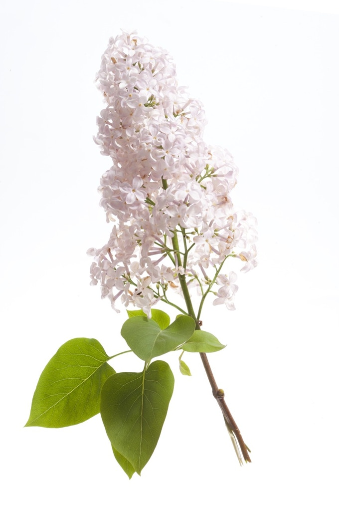 """Lilac sprig (available as a 10x12"""" print at £50 reward level)"""