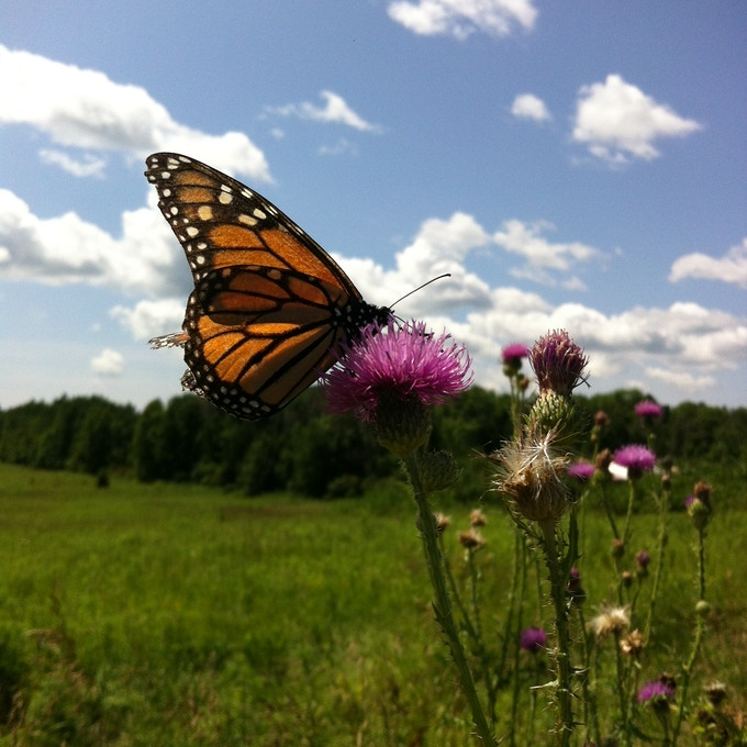 Monarch butterfly drinking nectar!
