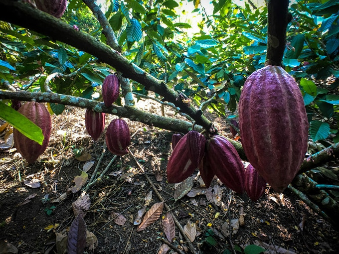 Cacao Pods on trees