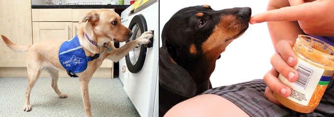 Service Dogs can be taught to push and pull to open doors, and activate appliances like a washing machine or dryer. Dogs' remarkable sense of smell can be used to identify and alert for allergens in food or in the general area.