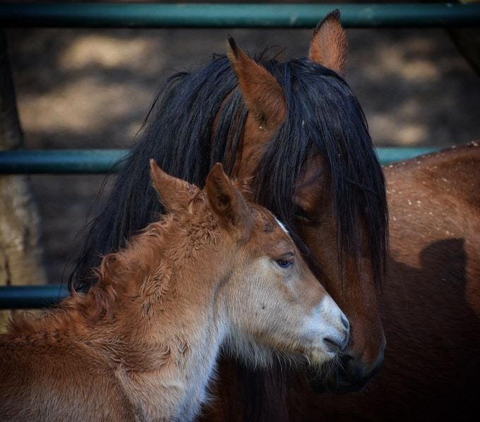 Wild Chaska, a native American Pony is given the chance to live with her foal, Andrea.