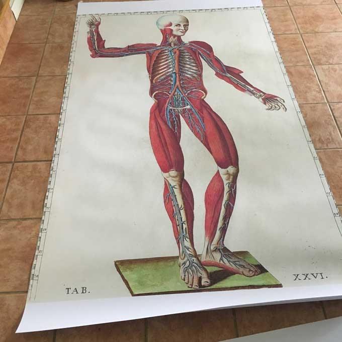 """48"""" x 74"""" Print of 1 Eustachi Engraving"""