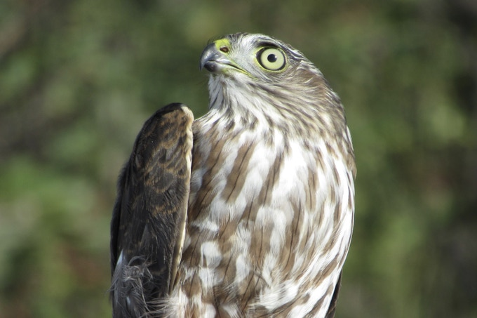 "This is what is known as a ""hatch-year"" sharpie as its eyes have not turned red yet, and its breast is vertically streaked. Look at those eyes! Then remember them when you read ""Hawk Eye"" in my book!"