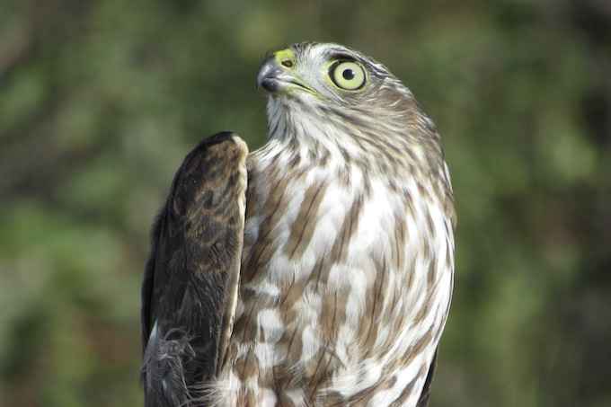 """This is what is known as a """"hatch-year"""" sharpie as its eyes have not turned red yet, and its breast is vertically streaked. Look at those eyes! Then remember them when you read """"Hawk Eye"""" in my book!"""