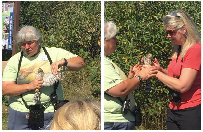 Instruction takes many forms at Hawk Ridge. Education Manager Margie Menzies shows visitors how a sharp-shinned hawk's wings are built for maneuvering among trees and prepares a volunteer from the crowd for releasing the bird.