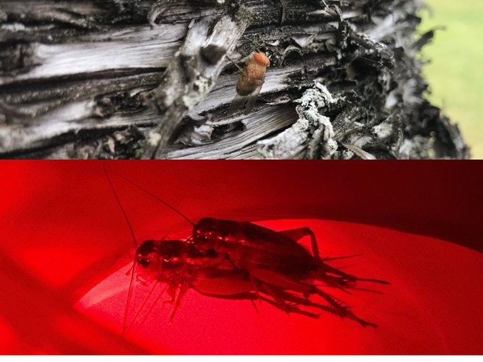 Fly that parasitizes the cricket and mating crickets