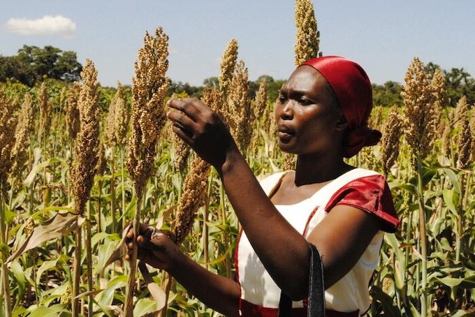 Sorghum farmer in Kenya