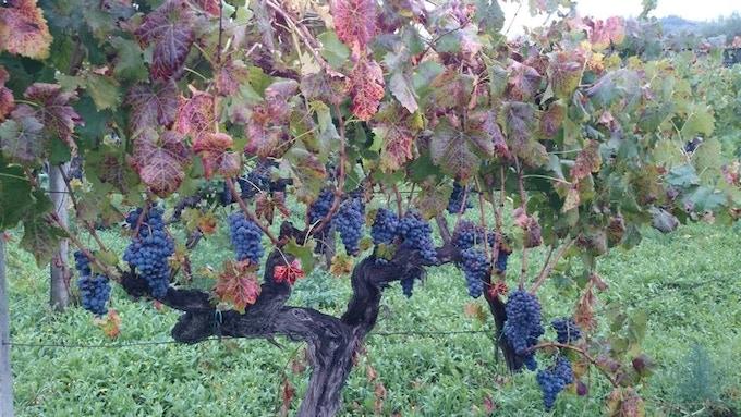 Etna old vine