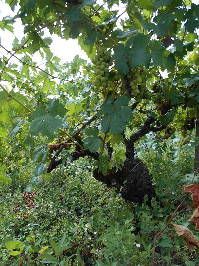 Barla , one of the most beuatiful natural vineyards -Case Corini