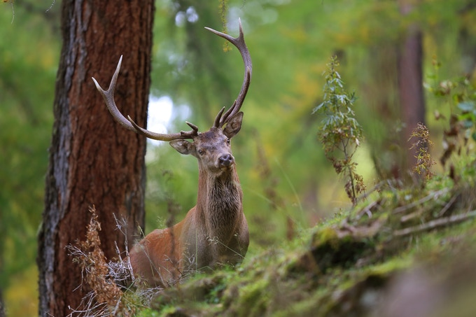 Red deer stag in the mountains of Graubünden, Switzerland. Photo by Fabian Riedi, naturvision