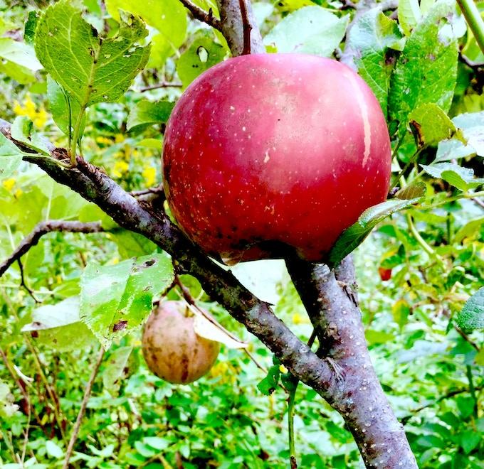 """""""Fuji"""" apples in Luke's food forest."""