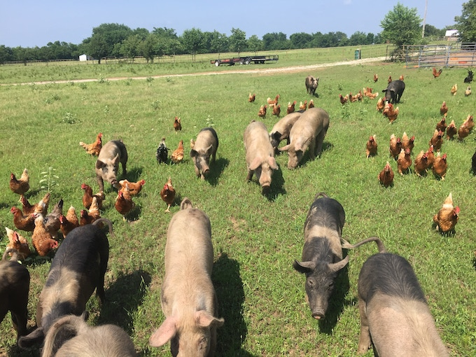 Our pigs and chickens are all raised on a combination of pasture and woods.