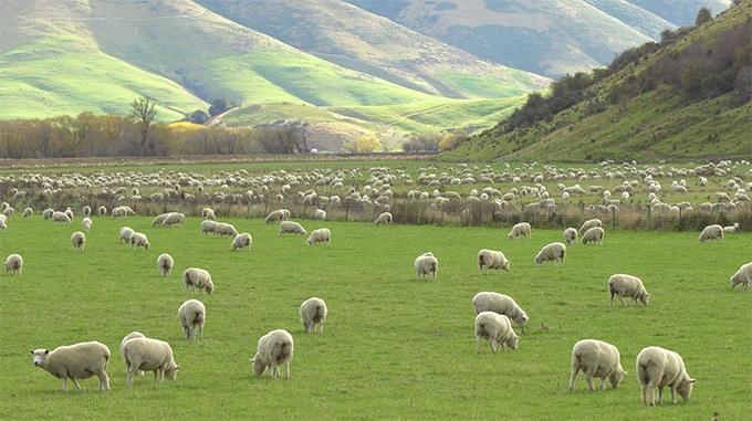 Merino sheep on Australian grasslands