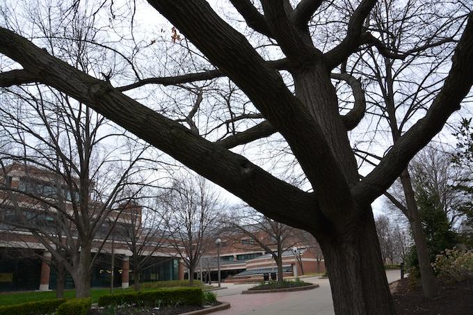 Tree #1 - Shumard Oak