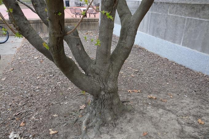 Tree #4 - Saucer Magnolia*