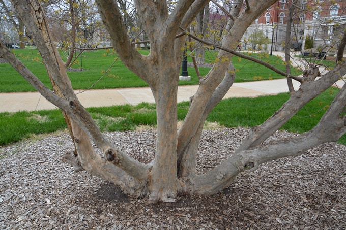 Tree #6 - Cornelian Cherry Dogwood